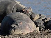 Hippos lazing
