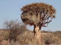 Sociable Weavers' nest in Quiver tree