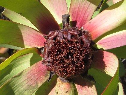 Leucospermum tinctum
