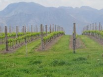 Some of the neat vineyards