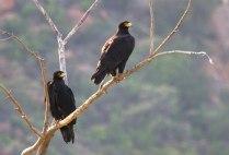 Verreaux's Eagles