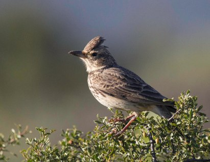 Thick-billed lark