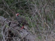 Red-Necked Spurfowl
