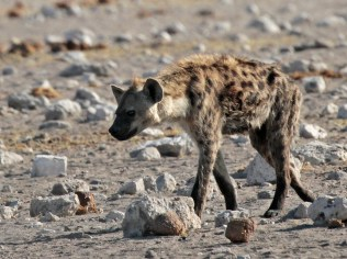 The hyena approaches