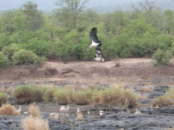Fish Eagle attacking Marabou Stork