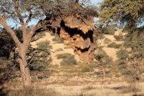 A sociable Weaver nest