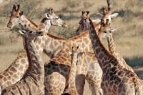 Giraffe at Urikaruus