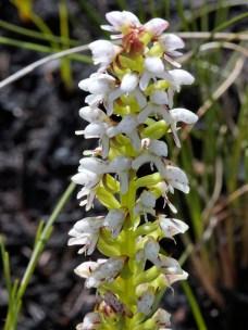 Disa obtusa subsp. hottentotica