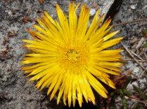 Lampranthus sp.