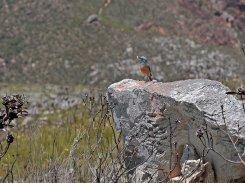 Sentinel Rock Thrush