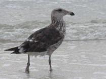 Immature Kelp Gull