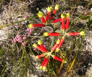 Erica massonii