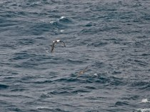 Indian Yellow-nosed Albatross and Cory's Shearwater