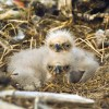 Bald Eagle Chicks Sitting In A Nest On Middleton Island In The Gulf Of Alaska, Southcentral, During Spring