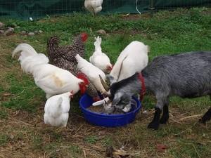 Prog-Photo-Goats-and-chickens-no-copy-300x225 - Copy - Copy