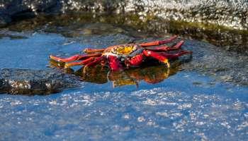 A Sally lightfoot crab (Grapsus grapsus) on lava rocks along...
