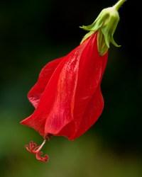 Red Sleeping Hibiscus, Florida