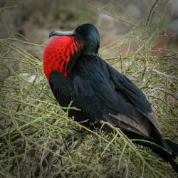 Frigate Bird, Galapagos