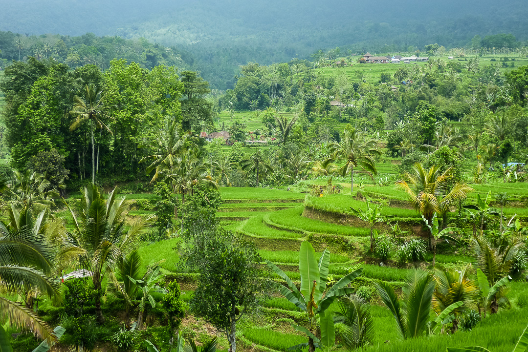 Rice Fields near Ubud, Bali