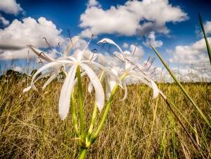 Everglades Swamp Lily