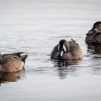Blue-winged Teal Comings and Goings