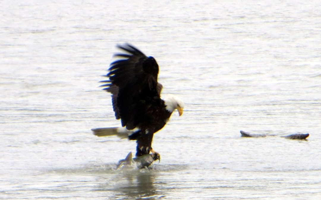 Haines, Alaska:  Eagles and More