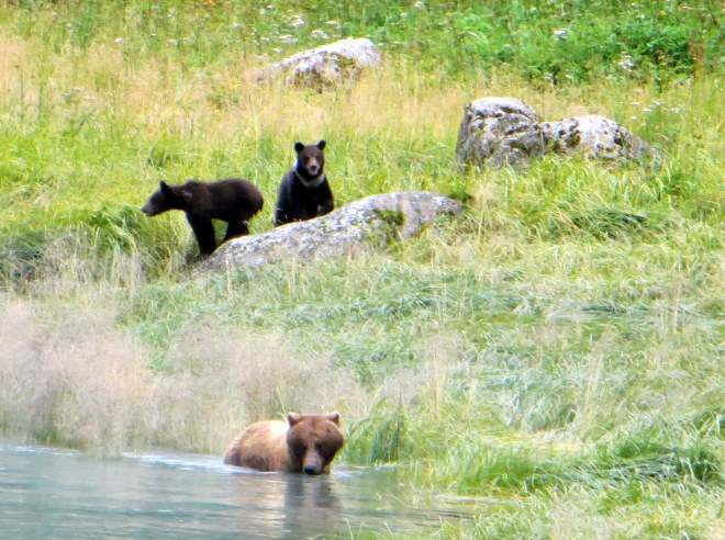 Mama teaching her cubs to fish