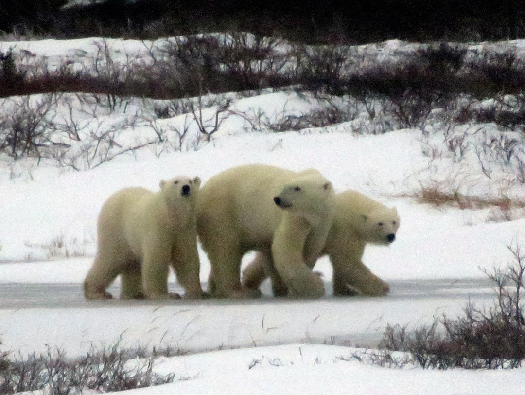 mama-with-cubs