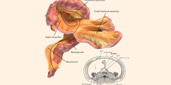 Does your body now have an extra organ? The MESENTERY