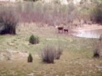 A mama cow and a baby calf far far away