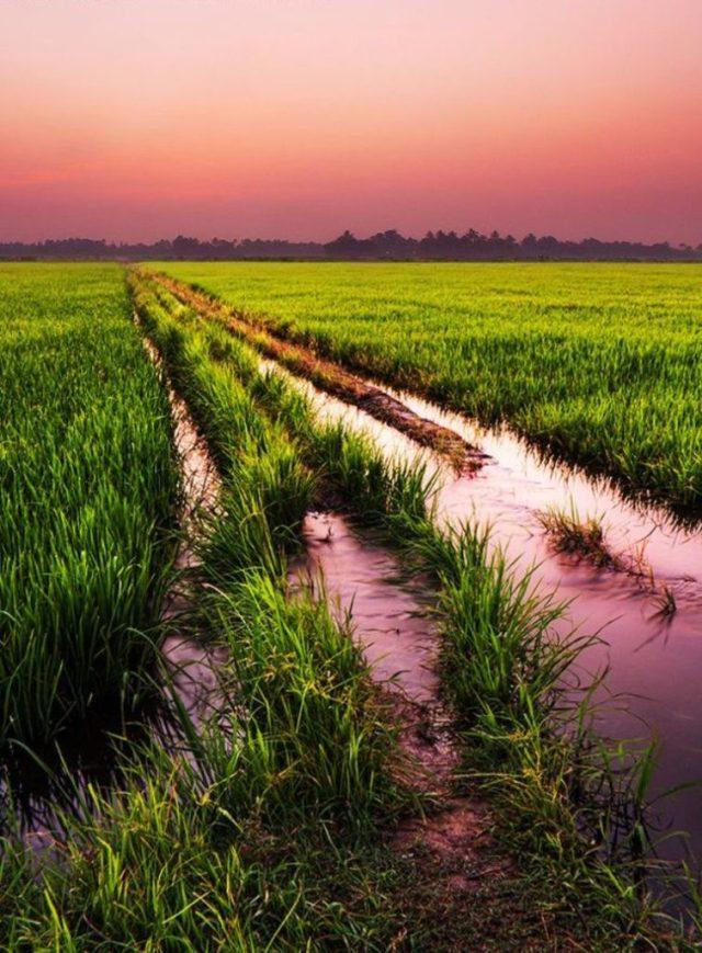 Kerala-Rice-Fields-Sunset_Kerala_province_rooftopantics_travelblog_travelconsultant_India
