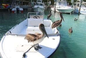 Pelikane Tarpune Tarppon Feeding Islamorada