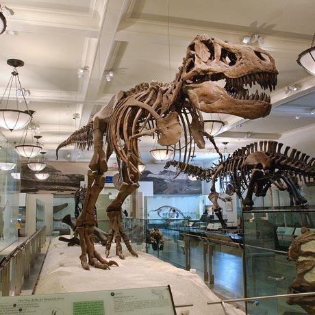 A tyrannosaurus rex skeleton standing tall in the American Museum of Natural History.