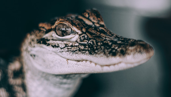 A close up of a baby gator.