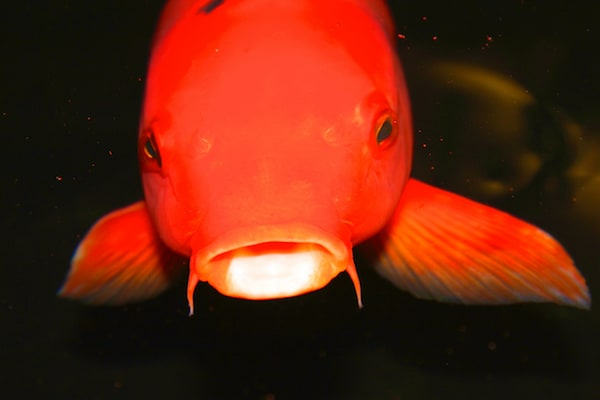 A big red fish viewed from head on. It has an intense gaze.