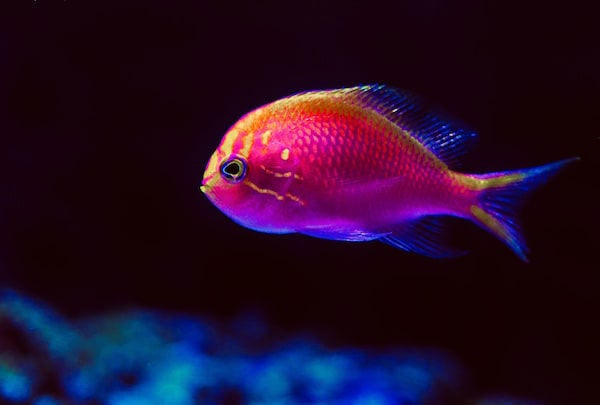 A red fish viewed from the side.