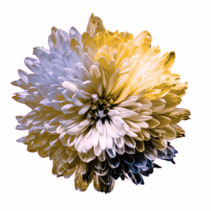 A flower depicting the color spectrum in Deuteranopia