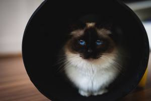 A cat with striking blue eyes inside of a tube.