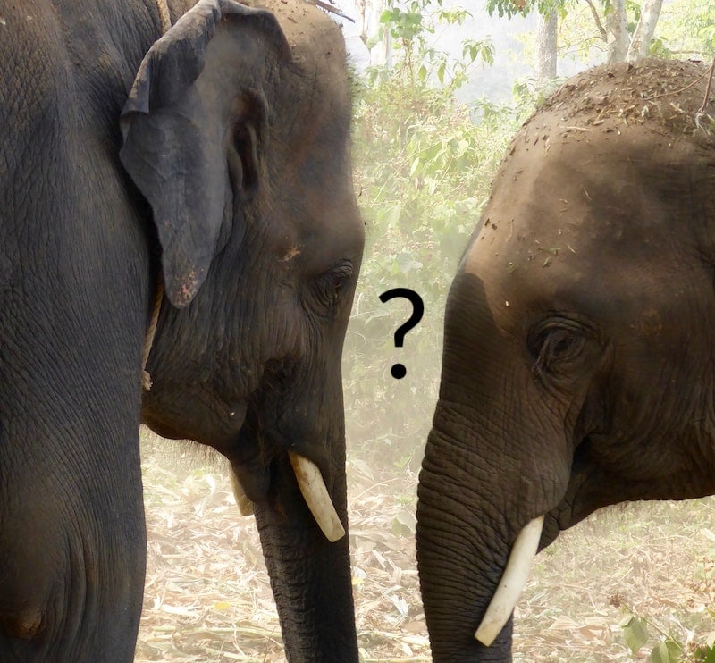 Two elephants head to head, a question mark between their faces.