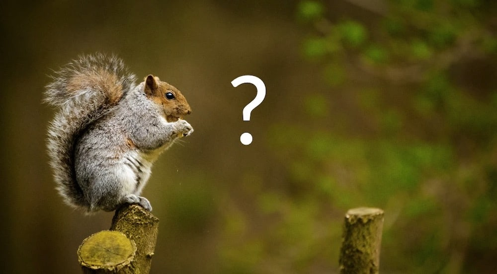Squirrel standing on a branch intently looking at a question mark.