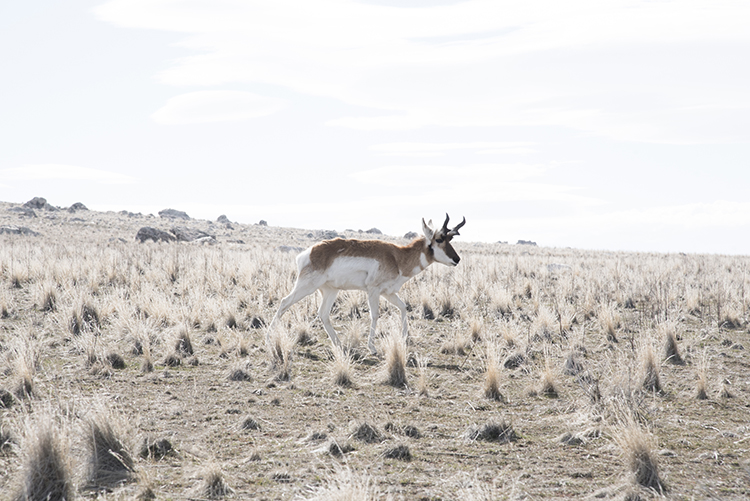 Pronghorn on Antelope Island