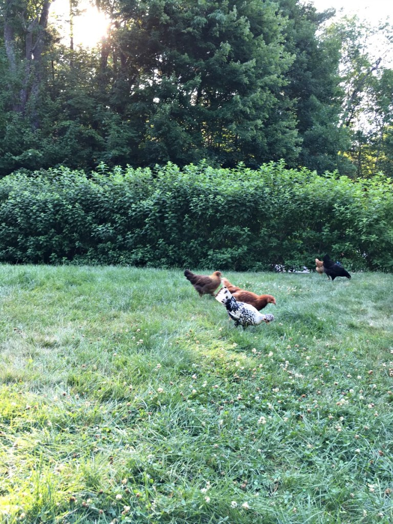 Raising Chickens | Rooms FOR Rent Blog