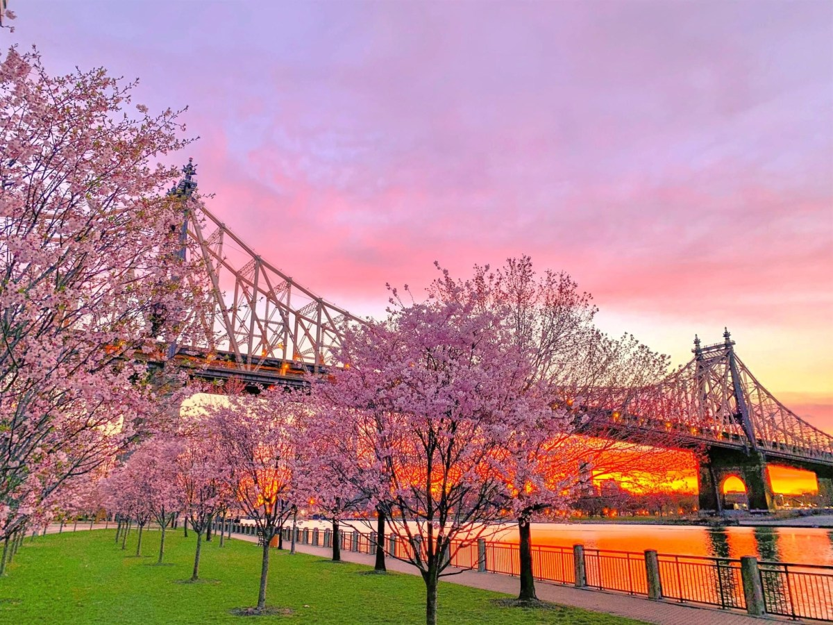 Roosevelt Island's youngest cherry blossoms. Photo by Matt Kuhn.