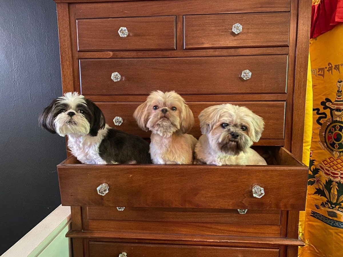 Product of the New York Shih Tzu Rescue Society
