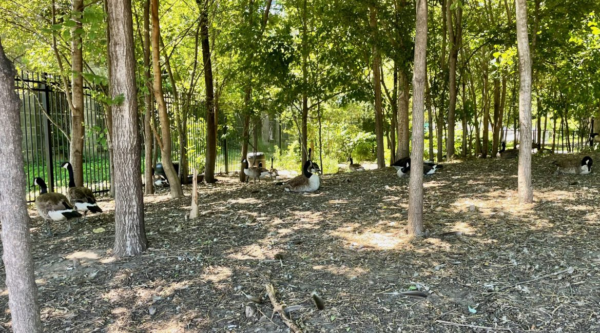 Roosevelt Island's Last Chance Canadian Geese Sanctuary