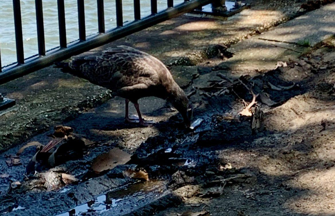 Gull Endangered by Careless Smoker's Discarded Lighter