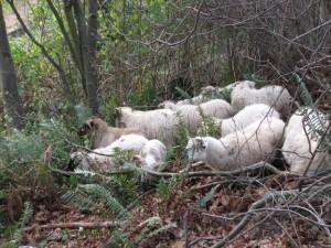 Sheep munching brush at Cowen Park.