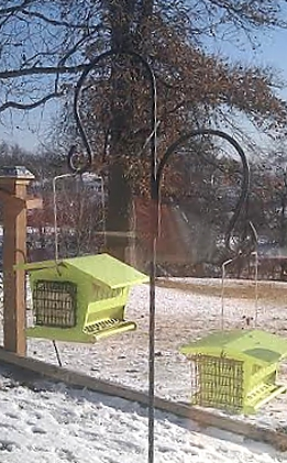 Groundhog's Day at Roosterville