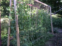These peas love the trellis, when they can find the string.