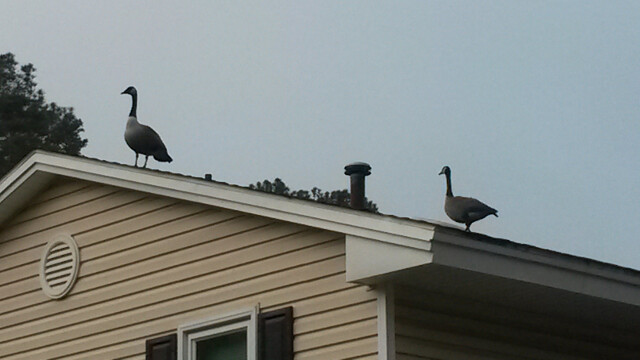 Got a mild case of geese on the roof.